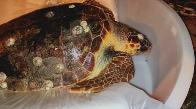 Massa Lubrense, lo staff dell'Amp Punta Campanella salva una tartaruga nel Golfo di Salerno