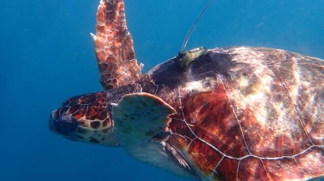 Massa Lubrense, tre tartarughe ritrovano la libertà al largo di Punta Campanella