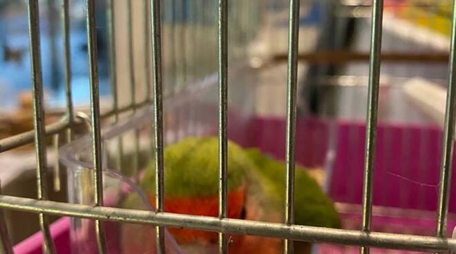 Positano, trovato pappagallino Inseparabile: si trova al Garage Mandara