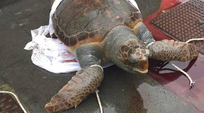 Vietri sul Mare, trovata una tartaruga in spiaggia: purtroppo l'esemplare è deceduto