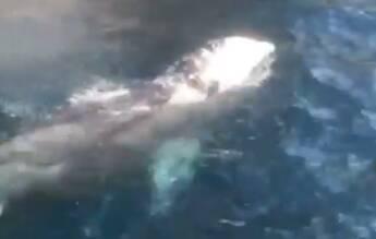 balena grigia sorrento