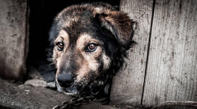 CAMPANIA - L'APPELLO DI SAVE THE DOGS AL GOVERNATORE DE LUCA: INTRODURRE SANZIONI SEVERE PER CHI DETIENE UN CANE ALLA CATENA, NON BASTA IL DIVIETO.