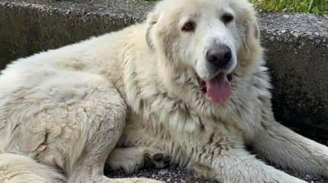Piano di Sorrento/Positano: ritrovato un cane in strada, cerchiamo il suo padrone