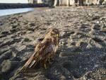 Piano di Sorrento: torna a volare la poiana recuperata dai volontari del WWF in spiaggia