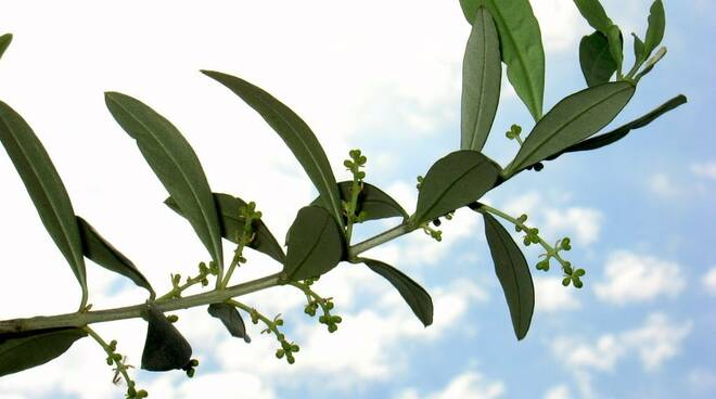 Positano, domani la piantumazione degli alberi di ulivo in ricordo delle vittime del Covid
