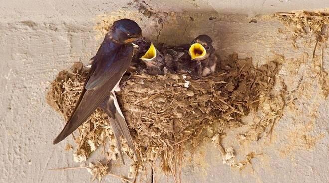 Tornano le rondini, la fortuna di ospitarne un nido sotto il tetto