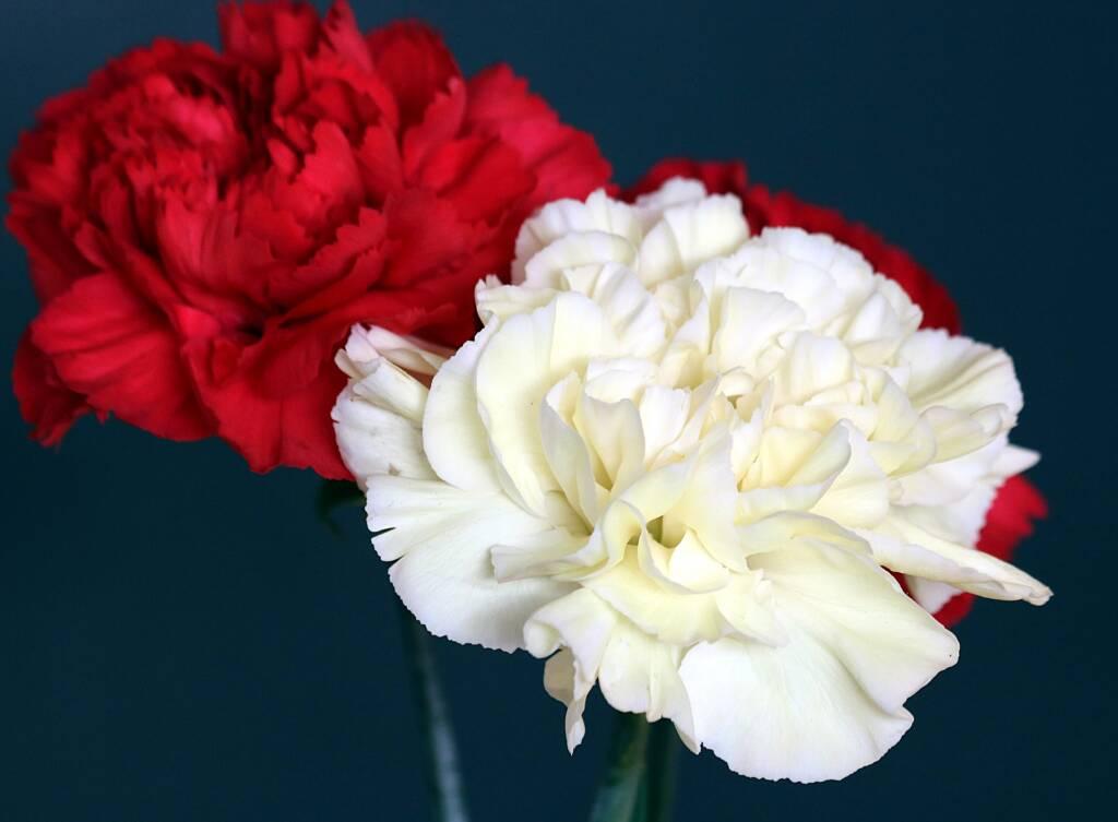 Festa della mamma: un garofano rosso e uno bianco