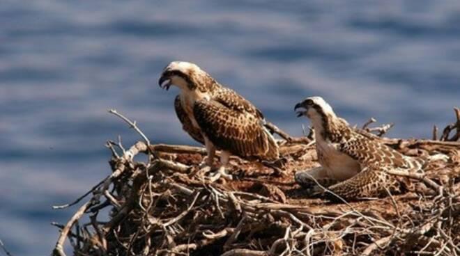 WWF - Arcipelago Toscano torna il falco pescatore estinto come didificante dal 1969