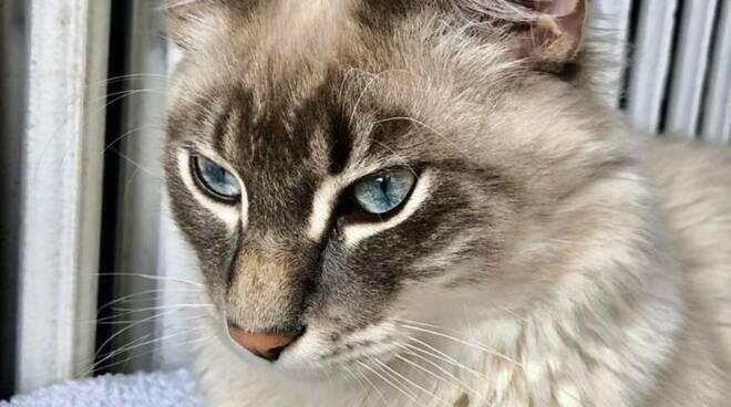 Praiano, gatto smarrito in via Asciola. L'appello della proprietaria