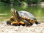 Cava de' Tirreni: rubate dieci tartarughe dallo stagno della Villa comunale. È caccia al ladro