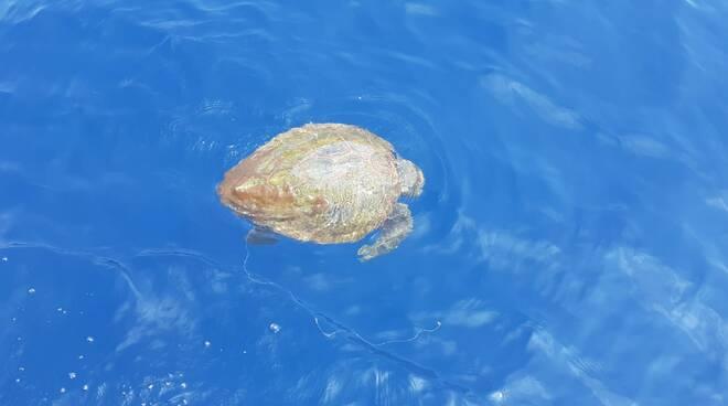 """Massa Lubrense. Appello da Punta Campanella: """"Massima attenzione per le tartarughe marine"""""""