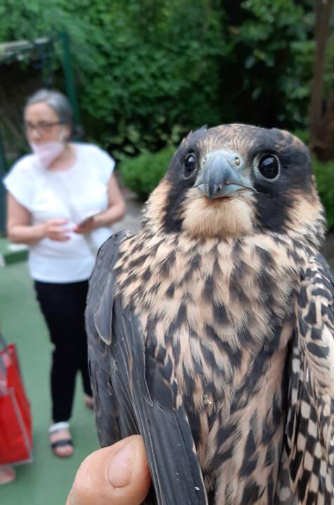 Piccolo di falco pellegrino messo in salvo ed affidato alle cure dei veterinari