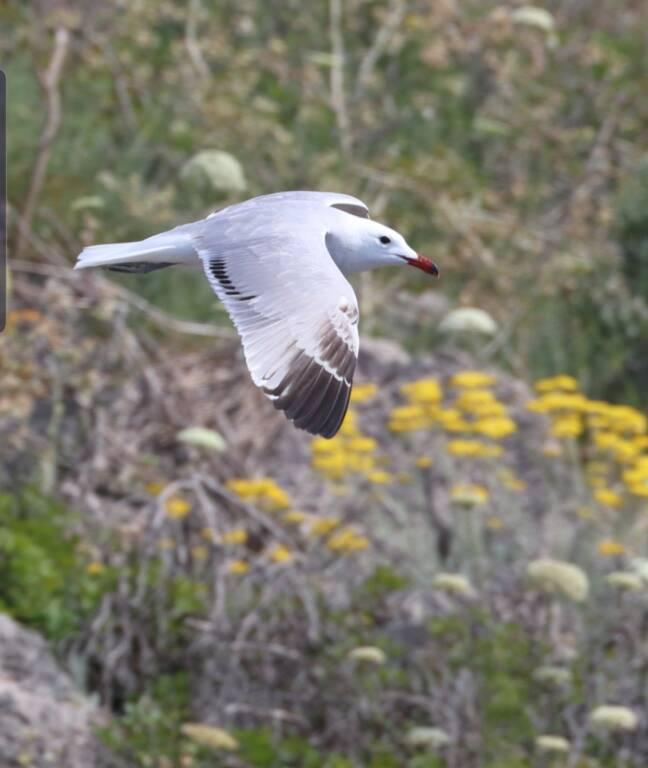 Punta Campanella, il Gabbiano corso torna a  per nidificare