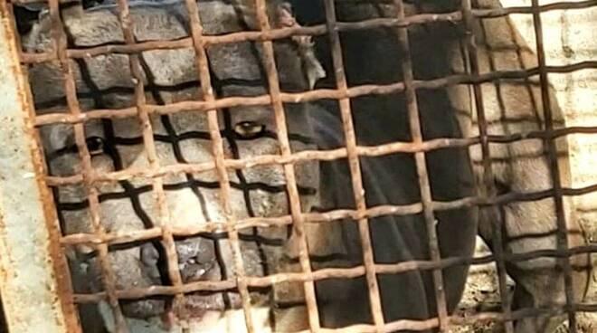 GIUGLIANO: PITT BULL MALTRATTATI INTERVENGONO LE GUARDIE WWF