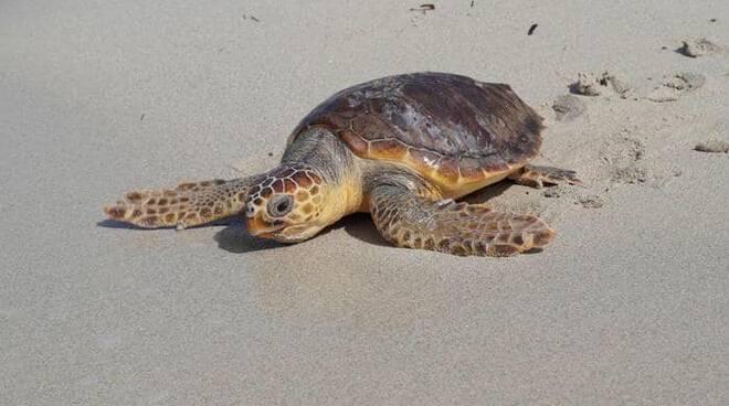 Maiori, la minoranza chiede alle Autorità delle misure di protezione della tartaruga