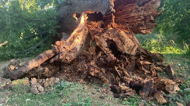 Amatrice, il vento abbatte il Cerro di Sant'Angelo: aveva 600 anni ed era sopravvissuto al terremoto