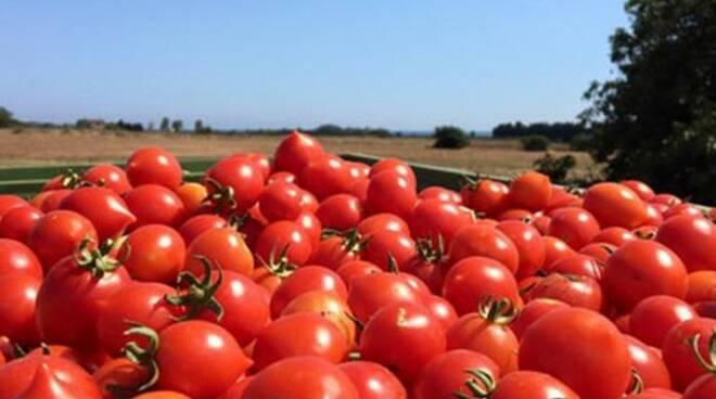 """Danni da 10 milioni di euro per l' """"oro rosso"""". La raccolta dei pomodori messa in ginocchio da caldo e siccità"""