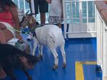 La foto virale della capretta al guinzaglio sul traghetto per le isole del golfo di Napoli
