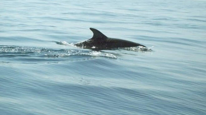 Un esemplare di globicefalo avvistato nelle acque di Conca dei Marini