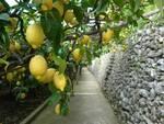 Il 30 settembre visita guidata sul Sentiero dei limoni, tra Maiori e Minori