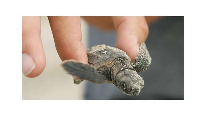 Ischia, bagnino salva 25 tartarughe appena nate. Le raccoglie nella notte e le porta in mare aperto