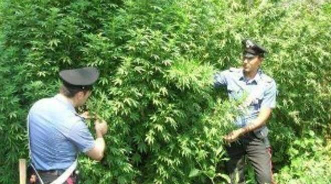 Monti Lattari: più di 100 piante di cannabis scoperte e distrutte