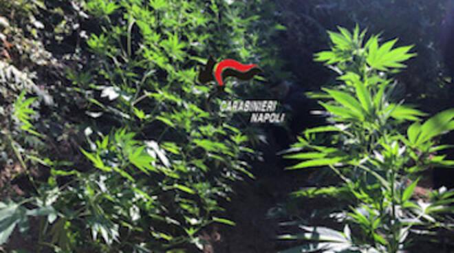 Proseguono le indagini dei Carabinieri: sui Monti Lattari individuata e distrutta una piantagione di marijuana