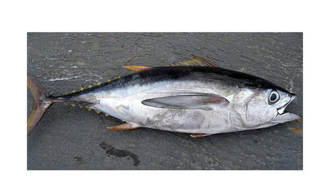 Shock ad Ischia, pescato un tonno nella cui pancia è stata ritrovata una siringa ospedaliera