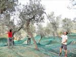 Anacapri, per L'Oro di Capri si preannuncia buona la raccolta delle olive 2021