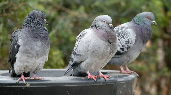 Atrani, un'ordinanza sindacale per il controllo della diffusione dei piccioni sul territorio