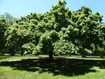 Per gli alberi monumentali della Reggia di Caserta arriva il riconoscimento ufficiale